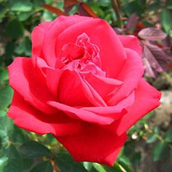 ruže čajevke sofija