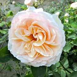 minijaturne sadnice ruža sun made