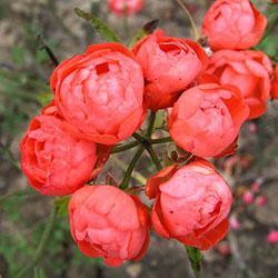 mini ruže vatertag
